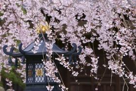 しだれ桜 本覚寺