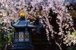 本覚寺しだれ桜