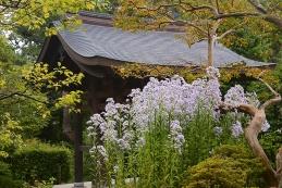 紫苑(シオン) 海蔵寺