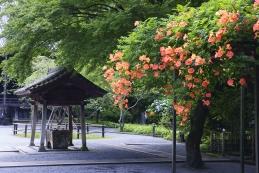 凌霄花(ノウゼンカズラ) 妙本寺