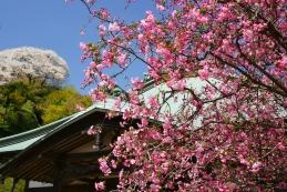 海棠(カイドウ) 海蔵寺