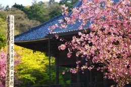 海棠(カイドウ) 妙本寺