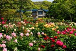 バラ 鎌倉文学館