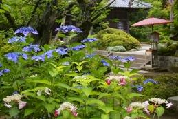紫陽花 海蔵寺