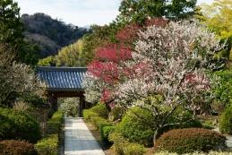 梅 浄妙寺
