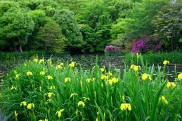 黄菖蒲 平家池(鶴岡八幡宮)
