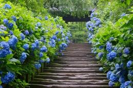 紫陽花 明月院