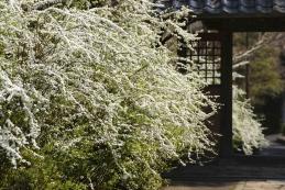 雪柳 海蔵寺