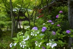紫陽花 浄光明寺