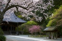 桜 妙本寺