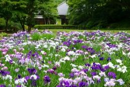 花菖蒲 明月院