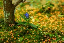 竜胆(リンドウ)と金木犀の落ち花 海蔵寺