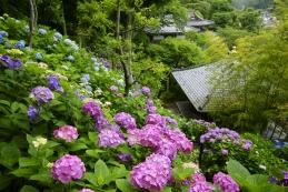 紫陽花 長谷寺