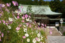 秋桜 龍宝寺
