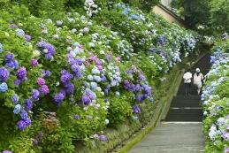 紫陽花 成就院