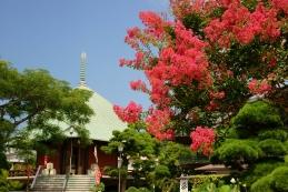 百日紅(サルスベリ) 本覚寺