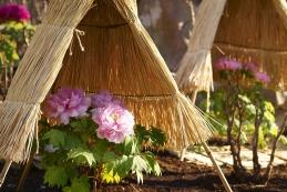 冬ぼたん 鶴岡八幡宮神苑ぼたん庭園