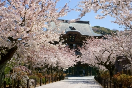 桜 建長寺