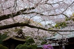 桜 報国寺