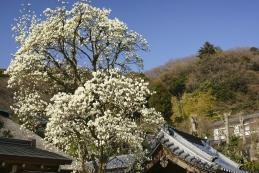 白木蓮 円覚寺