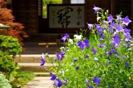 桔梗 海蔵寺