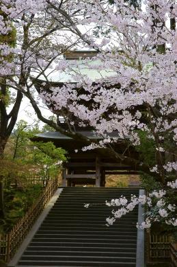 桜 円覚寺