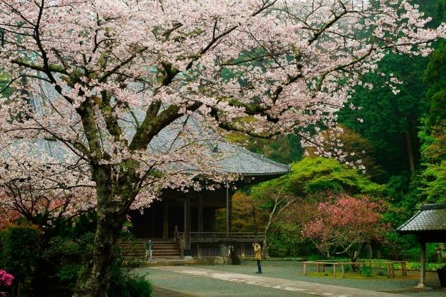 妙本寺 桜